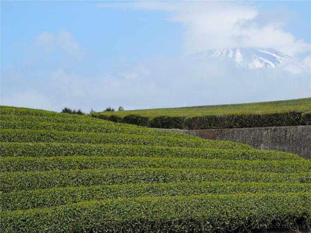 富士山と茶畑...のはずが富士山が雲で隠れています