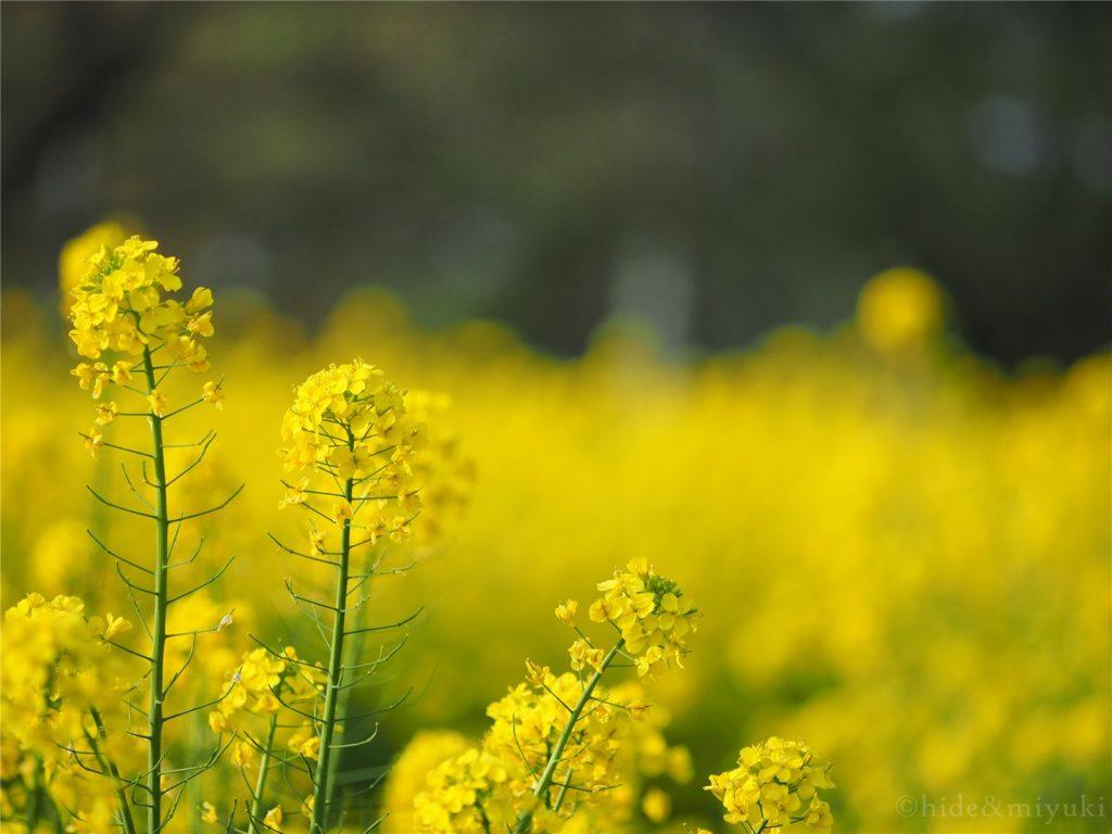 菜の花x菜の花